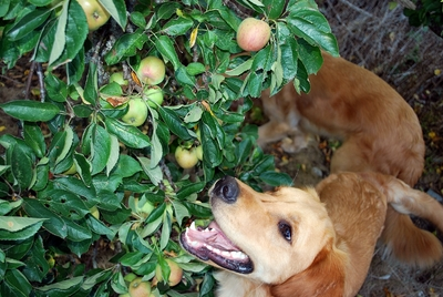 Leonidas eats apples right off the trees!!